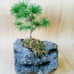 吾妻五葉松石植え