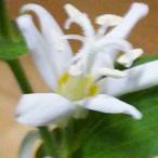 白花杜鵑(シロバナホトトギス)