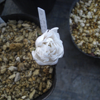 【八重咲き】サンギナリアカナデンシス