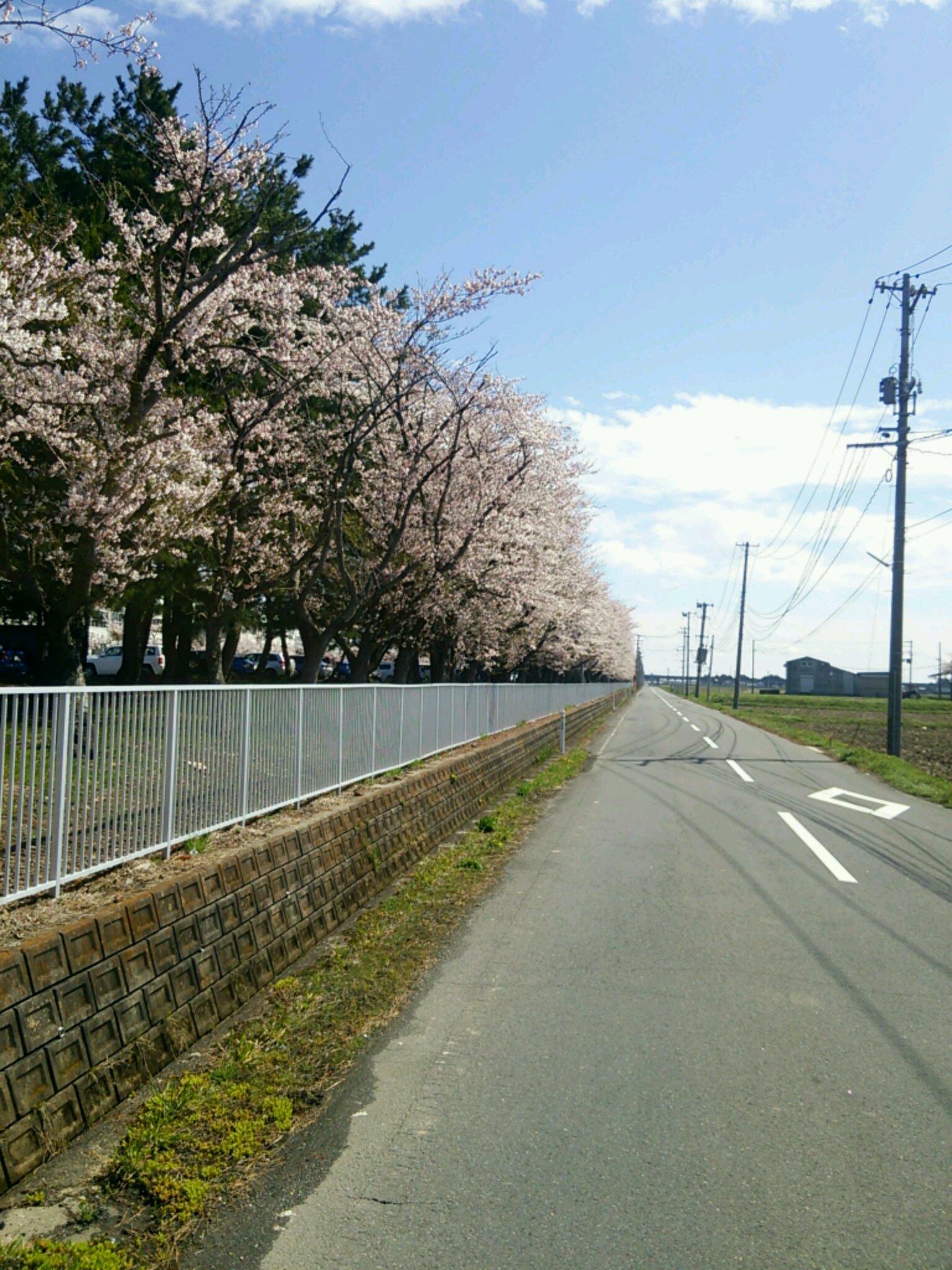 三本木の桜並木